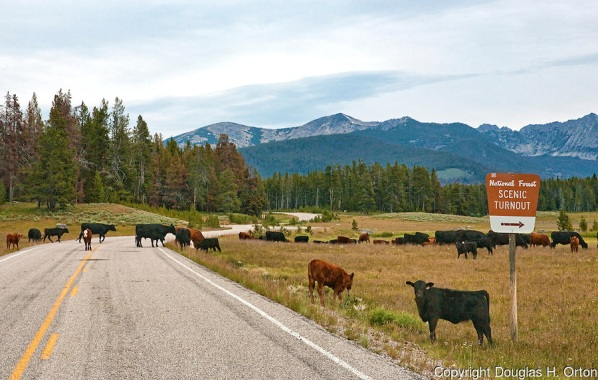 Following the Herd, Pioneer Mountains Scenic Byway, Montana