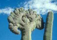 saguaro 4 credit photo NPS